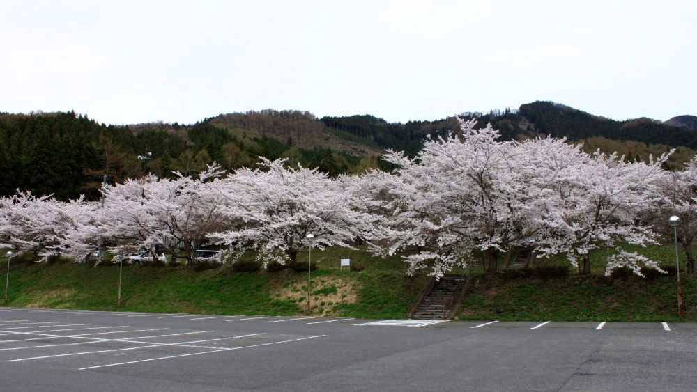 ぽんぽこ桜